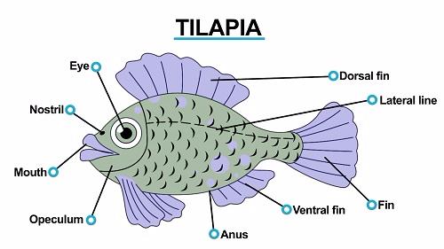 Tilapia 1451472960276