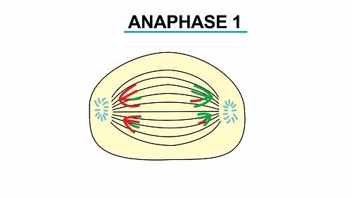 Anaphase 1 1451541385157