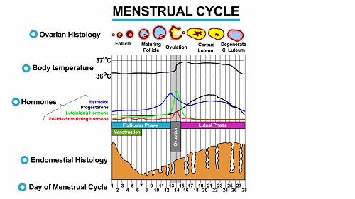 Menstrual Cycle 1451545237732