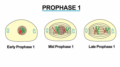 Prophase 1 1451541343045