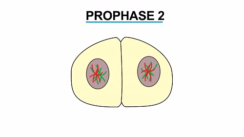 Prophase 2 1451542464931