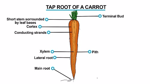 Tap Root Of Carrot 1451540359318
