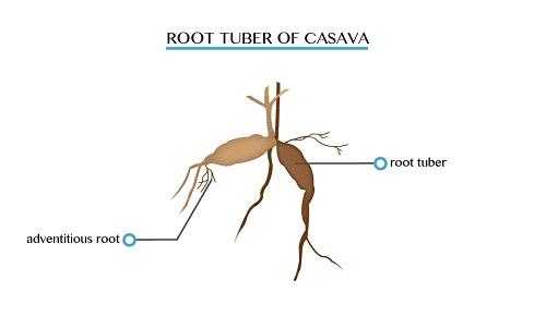 Cassava 1451539899914
