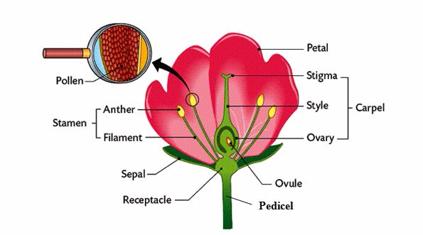 FORM THREE BIOLOGY STUDY NOTES TOPIC 6: REPRODUCTION