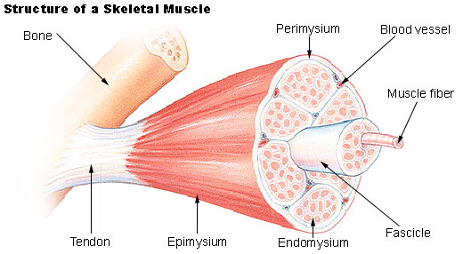 Muscle Structure 1451486601375