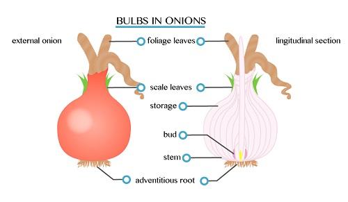 Onion 1451539549849