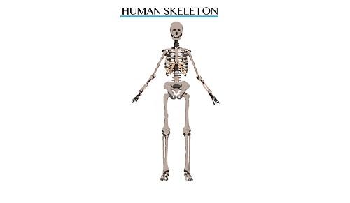 Skeleton 1451484436305