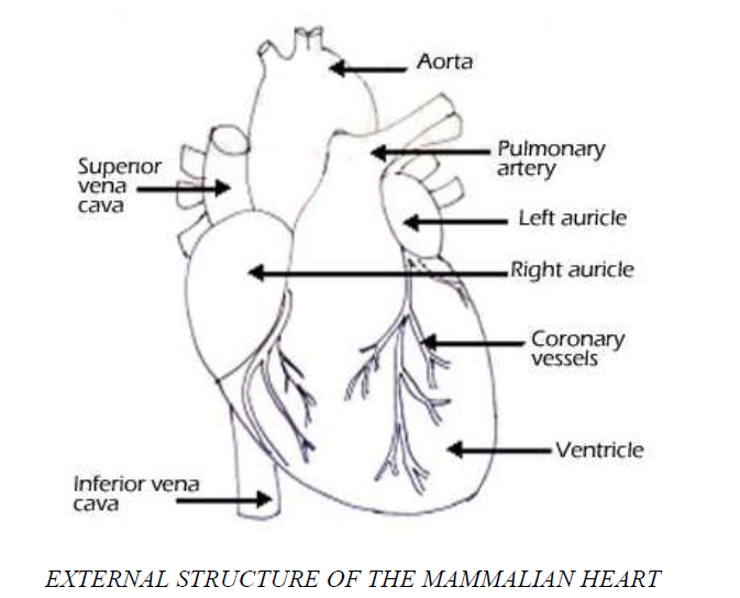 Biology form 2 topic 4 darasa huru kwa wote the external structure of the mammalian heart is as shown in the labelled diagram below ccuart Choice Image
